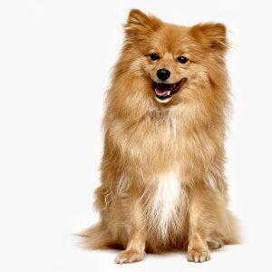 Chewey trained dog by A1 Animals