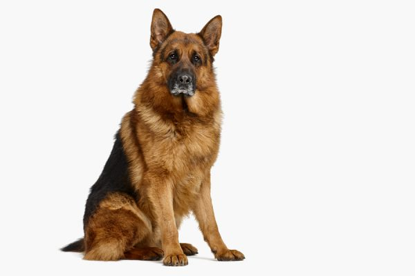 Hettel trained german shepherd dog for A1 Animals